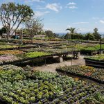 Cosentino's Nursery, Malibu, CA. Specializing in succulents and serving Malibu and environs for over 40 years